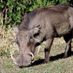 Warthog grazing at Tzamenkomst